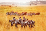 Wild African zebras in the Serengeti National Park. Africa. Tanzania.