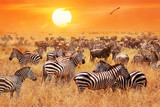 Herd of wild zebras and wildebeest in the African savanna against a beautiful orange sunset. The wild nature of Tanzania. Artistic natural image. - 197917543