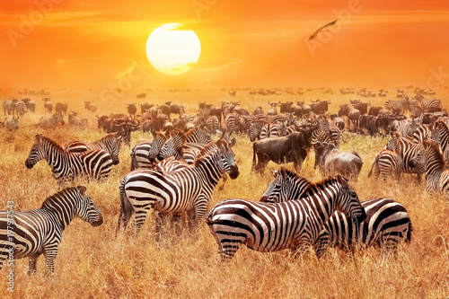 Fototapeta Herd of wild zebras and wildebeest in the African savanna against a beautiful orange sunset. The wild nature of Tanzania. Artistic natural image.