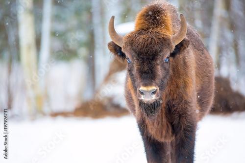 Aluminium Bison Large brown bison Wisent portrait near winter forest with snow. Herd Of European Aurochs Bison, Bison Bonasus. Nature habitat