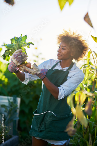 African American Gardener Looking At Freshly Picked From The Ground Golden Beets Community Communal Garden