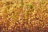 Vine yellow leaves texture background in autumn, sunlight