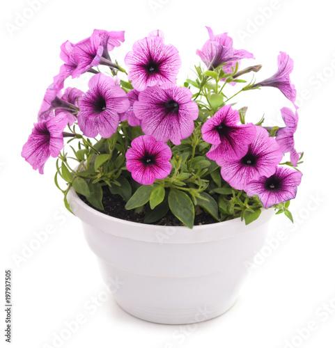 Colorful petunia in the pot. - 197937505