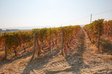 Vineyard in autumn with brown leaves in a sunny day