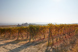 Vineyard in autumn with brown and yellow leaves in a sunny day, backlight