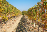 Vineyard in autumn, path between two vine rows with yellow and green leaves in a sunny day