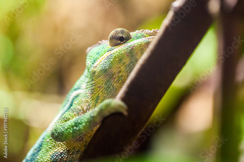 Tuinposter Panter a panther chameleon climbs on a tree