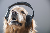 Fototapeta Golden Retriever Dog listening to music through headphones,