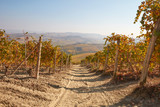 Path in vineyard in autumn with yellow and brown leaves in a sunny day, Langhe hills in Italy