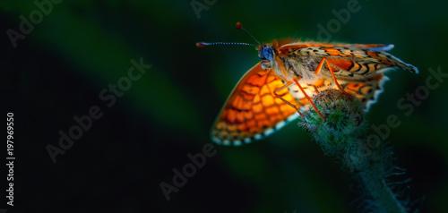 Jasny motyl w niezwykłej perspektywie. Kolorowy ciemnozielony tło, zakończenie, selekcyjna ostrość. Clossiana selene. Sezon to wiosna, lato.