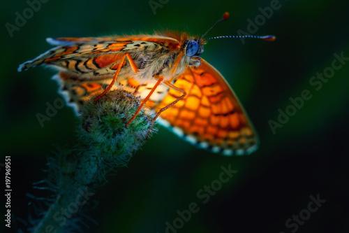 Piękny motyl, zamazany tło. Clossiana selene w środowisku naturalnym. Zbliżenie.