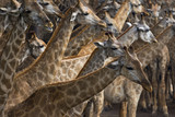 flock of african giraffe on sawanna field