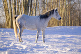 Gray Horse Mare standing in the snow at pasture, warming up on sunny winter day.