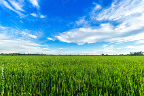 Foto Murales Beautiful green cornfield with sunset sky background.