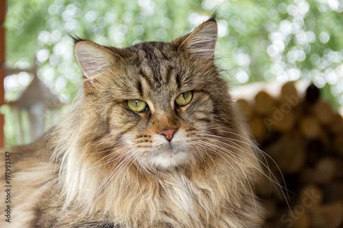 Kot Maine Coon odpoczywa