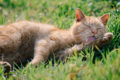 Cat grooming herself - 197997172