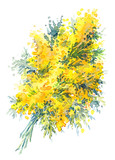 Watercolor hand-drawn illustration of mimosa on white background (isolated)