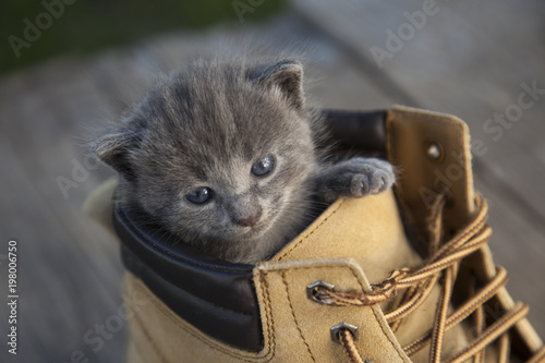 kitten with smoky color and blue eyes in the boot, in the nature on the background of summer green - 198006750