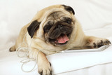 Pug dog in headphones is listening to music