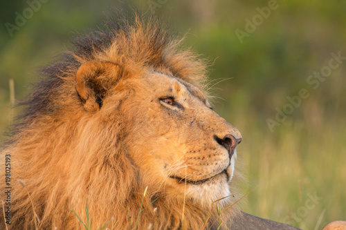 Plexiglas Lion Lion portrait in sunset rays