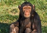 A young chimpanzee close up