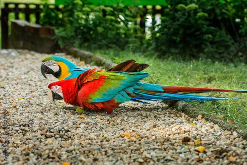 Plexiglas Papegaai Dwie papugi ara pomarańczowo-niebieska i czerwona siedzące na żwirowej ścieżce w ogrodzie