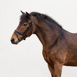Bay horse pony isolated on light background
