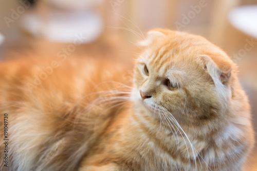 Pomarańczowy szkocki fałdu kot w selekcyjnej ostrości.