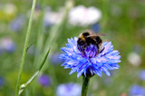 Bumblebee sitting on a blue cornflower