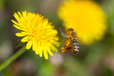 Bee collects nectar on a dandelion, bright yellow flower