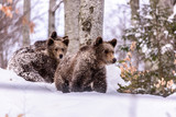 Bear in winter time. Bear bruin in the forest.  - 198054542
