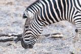 close up of eating zebra