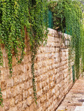 Old stones wall covered with the green ivy