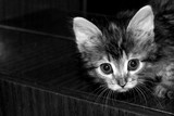 Black and white portrait of small cute siberian kitten looking at the camera