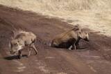warthog, Serengeti, Tanzania, Africa