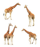 Giraffe set isolated on white background. Adult animals. - 198110974