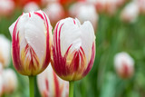 two tulips in bloom closeup