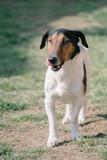 Cute dog walking. Terrier dog outdoor.