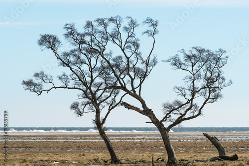 Windblown trees by the coast