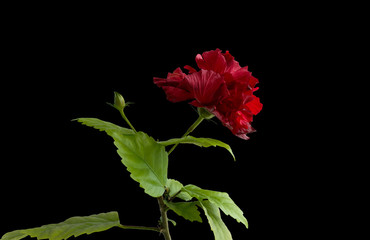Terry hibiscus on a black background