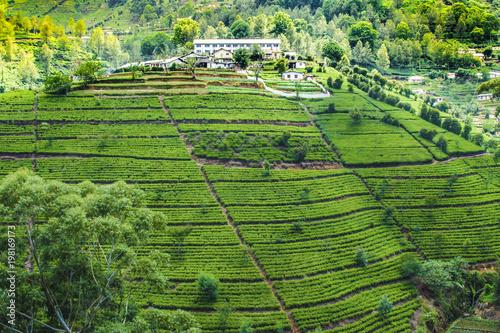 Foto op Plexiglas Historisch geb. green tea plantation in Sri Lanka