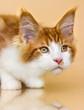 red Maine Coon kitten on a beige background