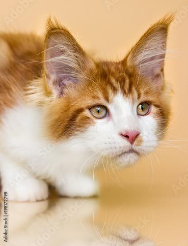 red Maine Coon kitten on a beige background - 198172799