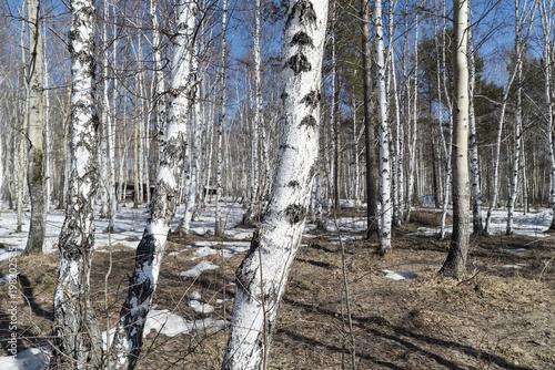 Fotobehang Berkenbos birch grove in the spring