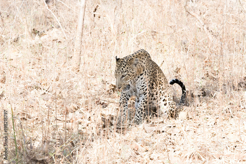 a leopard waiting for a kill Poster