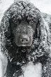 A Newfoundland stares at you while getting quietly covered by snow