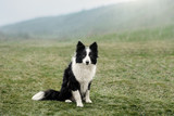 Fototapeta border collie dog walk in the park