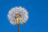 white fluffy dandelion on blue sky background