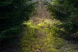 Pfad im deutschen Wald aus Fichten und Moosen.