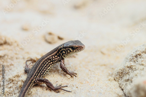 Young brown sand lizard on a sandy ground in the wild. Selective focus.